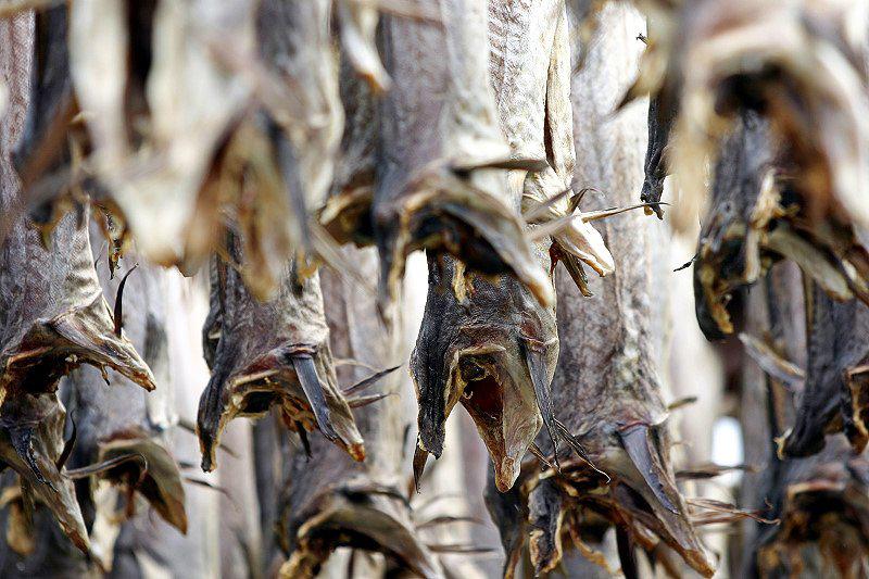 Skrei der arktische Kabeljau - Jede Menge Fische